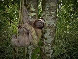 Three-Toed Sloth (Bradypus Variegatus) Perezoso De Tres Dedos, Cahuita, Caribe, Costa Rica Lámina fotográfica por Andres Morya Hinojosa