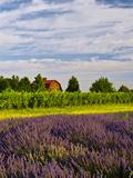 Lavender Fields Border Vineyard, Walla Walla, Washington, USA Reproduction photographique par Richard Duval
