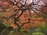 Japanese Maple, Portland Japanese Garden, Oregon, USA Fotoprint av William Sutton