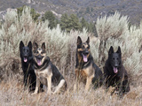 Four German Shepherds Sitting in a Field of Sage Brush and Pine Trees Reproduction photographique par Zandria Muench Beraldo
