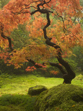 Japanese Maple at the Portland Japanese Garden, Oregon, USA Photographic Print by William Sutton