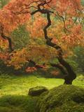 Japanese Maple at the Portland Japanese Garden, Oregon, USA Sträckt kanvastryck av William Sutton
