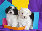 Two Havanese Puppies Sitting Together Surrounded by Colors, California, USA Reproduction photographique par Zandria Muench Beraldo