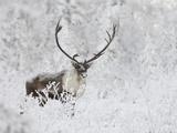 Caribou, Finger Mountain, Alaska, USA Fotografisk trykk av Hugh Rose