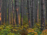 Pine Demonstration Stand, Itasca State Park, Minnesota, USA Photographic Print by Peter Hawkins