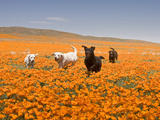 Four Labrador Retrievers Running Through Poppies in Antelope Valley, California, USA Reproduction photographique par Zandria Muench Beraldo