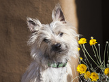 A White Cairn Terrier Sitting Next to Yellow Flowers Reproduction photographique par Zandria Muench Beraldo