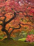 Japanese Maple, Portland Japanese Garden, Oregon, USA 写真プリント : ウィリアム・サットン