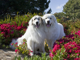 Two Great Pyrenees Together Among Red Flowers, California, USA Reproduction photographique par Zandria Muench Beraldo