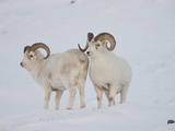 Dall Sheep Rams, Arctic National Wildlife Refuge, Alaska, USA Photographic Print by Hugh Rose