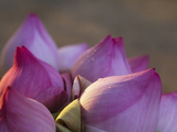 Lotus Flower Bud, Thailand Photographic Print by Keren Su