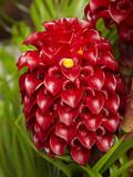 Tropical Flower in Garden, Coral Coast, Viti Levu, Fiji, South Pacific Reproduction photographique par David Wall