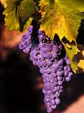 Walla Walla Wine Country, Walla Walla, Washington, USA Reproduction photographique par Richard Duval