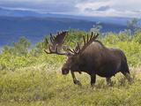 Bull Moose, Denali National Park, Alaska, USA Premium fotografisk trykk av Hugh Rose