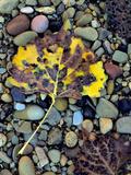 Fremont Cottonwoods, Zion National Park, Utah, USA Photographic Print by Scott T. Smith