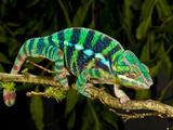Rainbow Panther Chameleon, Fucifer Pardalis, Native to Madagascar Fotografie-Druck von David Northcott