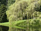 Weeping Willow, Japanese Gardens, Bloedel Reserve, Bainbridge Island, Washington, USA Premium fotografisk trykk av Trish Drury