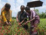 Female Farmer Harvesting Red Chili, Koch Bihar, West Bengal, India, Asia Photographic Print by Eitan Simanor