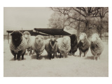 Sheep Committtee Reproduction photographique par Theo Westenberger