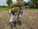 Farmers Harvesting Ripe Rice, Koch Bihar, West Bengal, India, Asia Photographic Print by Eitan Simanor