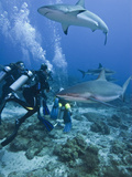 Caribbean Reef Shark (Carcharhinus Perezii) Swimming with Divers, Roatan, Bay Islands, Honduras Fotografisk tryk af Antonio Busiello
