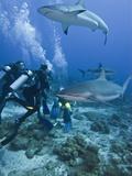 Caribbean Reef Shark (Carcharhinus Perezii) Swimming with Divers, Roatan, Bay Islands, Honduras Fotografie-Druck von Antonio Busiello