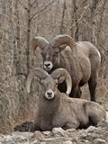 Two Bighorn Sheep (Ovis Canadensis) Rams During the Rut, Clear Creek County, Colorado, USA Lámina fotográfica por James Hager