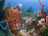 Many Lionfish (Pterois Volitans) and Giant Barrel Sponge (Xestospongia Muta), Roatan, Honduras Photographic Print by Antonio Busiello