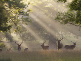 Deer in Morning Mist, Woburn Abbey Park, Woburn, Bedfordshire, England, United Kingdom, Europe Fotografisk tryk af Stuart Black
