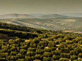Olive Groves, Zuheros, Near Cordoba, Andalucia, Spain, Europe Reproduction photographique par Giles Bracher