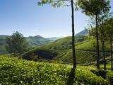 View over Tea Plantations, Near Munnar, Kerala, India, Asia Impressão fotográfica por Stuart Black