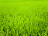 Rice Paddy Field Close Up in Ubud, Bali, Indonesia, Southeast Asia, Asia Reproduction photographique par Matthew Williams-Ellis