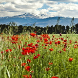 Wild Poppies (Papaver Rhoeas) and Wild Grasses with Sierra Nevada Mountains, Andalucia, Spain Reproduction photographique par Giles Bracher