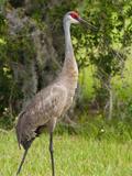Sandhill Crane (Grus Canadensis), Everglades, Florida, United States of America, North America Reproduction photographique par Michael DeFreitas