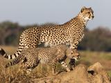 Cheetah with Cub (Acinonyx Jubatus), Phinda Private Game Reserve, Kwazulu Natal, South Africa Fotografisk tryk af Ann & Steve Toon