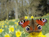 Peacock Butterfly (Inachis Io) on Wild Daffodil (Narcissus Pseudonarcissus), Wiltshire, England Photographic Print by Nick Upton
