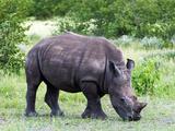 White Rhinoceros (Ceratotherium Simum), Namibia, Africa Lámina fotográfica por Nico Tondini