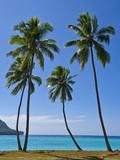Palm Trees, Port Orly, Island of Espiritu Santo, Vanuatu, South Pacific, Pacific Premium fotografisk trykk av Michael Runkel