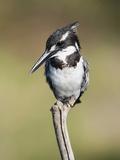Pied Kingfisher (Ceryle Rudis), Intaka Island, Cape Town, South Africa, Africa Fotografisk tryk af Ann & Steve Toon