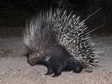 Porcupine (Hystrix Africaeaustralis), Limpopo, South Africa, Africa Fotografie-Druck von Ann & Steve Toon