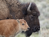 Bison (Bison Bison) Calf in Front of its Mother, Yellowstone National Park, Wyoming, USA Impressão fotográfica por James Hager