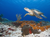 Sea Turtle (Chelonioidea), Cozumel, Mexico, Caribbean, North America Fotografisk tryk af Antonio Busiello