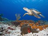 Sea Turtle (Chelonioidea), Cozumel, Mexico, Caribbean, North America Lámina fotográfica por Antonio Busiello