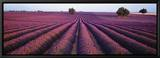 Lavendelfeld, duftende Blumen, Valensole, Provence, Frankreich Leinwandtransfer mit Rahmung