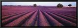Lavendelfält, doftande blommor, Valensole, Provence, Frankrike Inramat kanvastryck