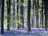 Bluebell Vision Stretched Canvas Print by Doug Chinnery