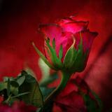 Rött på rött Fotoprint av Philippe Sainte-Laudy