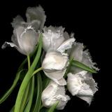 Frayed Tulips Fotografie-Druck von Magda Indigo