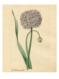 Allium nutans Lámina giclée por Sydenham Teast Edwards