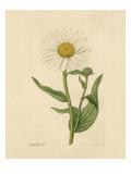 Chrysanthemum Giclée-tryk af James Sowerby